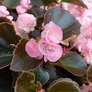 四季咲きベゴニア ピンク カット苗3本(プランター)