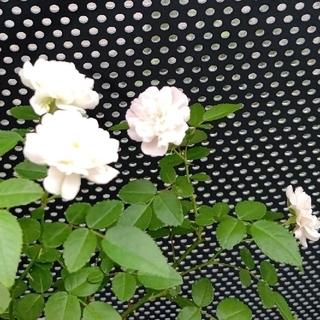 ミニバラ グリーン系 6センチポット苗(その他)
