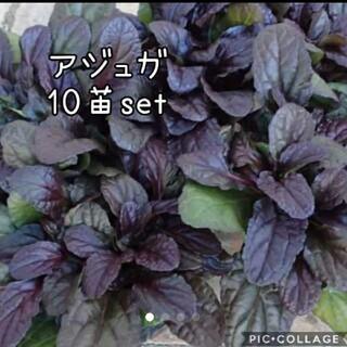 アジュガ 花苗10株セット(その他)