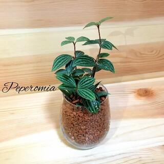 ペペロミア ハイドロカルチャー 観葉植物(その他)
