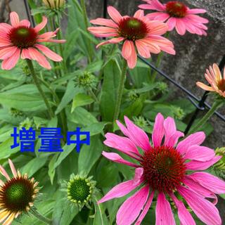エキナセア 種子 耐寒性 宿根草(その他)