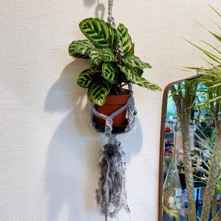 一点物 プランツハンガー付き カラテア マコヤナ 観葉植物 #アーキレイ(その他)