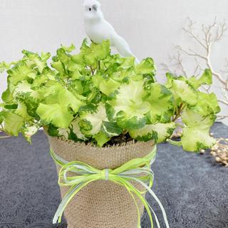 希少 小鳥付き 斑入り ヘデラ ムーンライト アイビー 観葉植物 #アーキレイ(その他)