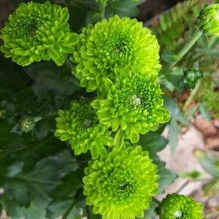 お花がグリーンの菊苗  同等品(その他)
