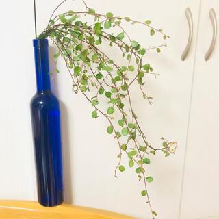 観葉植物 ワイヤープランツ 【30cm10本】(その他)