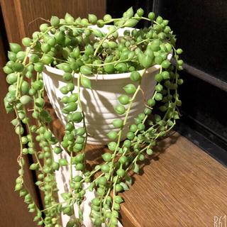 ②★グリーンネックレス★多肉植物★抜き苗★(その他)