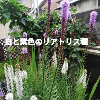 白と紫色のリアトリス種(その他)