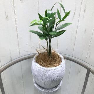 幸せを呼ぶ木 ナギの木  アンティークホワイトポット(プランター)