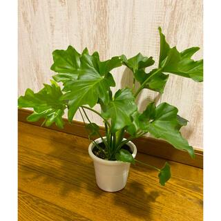 観葉植物 セローム 苗(プランター)