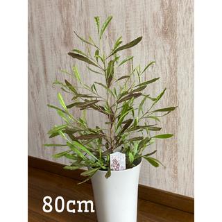 観葉植物 ドドナエア   苗 このまま飾れます(プランター)