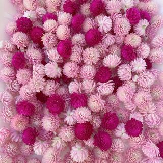 千日紅 ドライフラワー ピンク 紫 160個 ハンドメイド(各種パーツ)