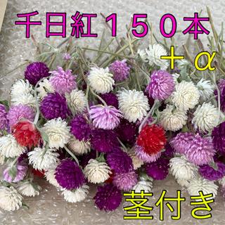 千日紅・茎付き【10cmほど】120本+α(ドライフラワー)