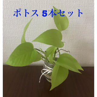 ポトス (その他)