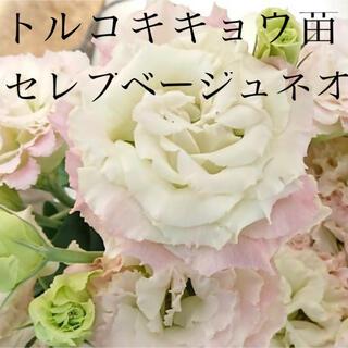 トルコキキョウ【ユーストマ】苗 セレブベージュネオ(その他)