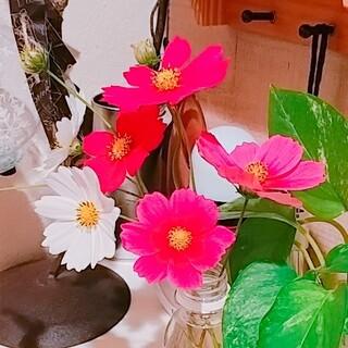 【種】コスモス(淡・濃ピンク&白3色MIX)(その他)