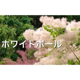 スモークツリー苗ホワイトボール(その他)