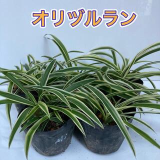 オリヅルラン 2鉢(プランター)