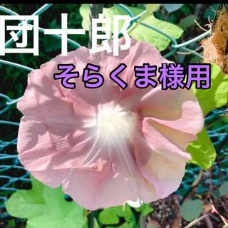 そらくま様用 ① 朝顔 団十郎 種 8粒 おまけ付(プランター)