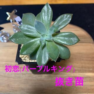 冬支度につきSALE中❣️多肉植物 初恋(パープルキング)抜き苗❤︎(その他)