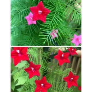 植物 グリーンレースカーテン ルコウソウ 星るこうそう 本年度取れた種 100粒(プランター)