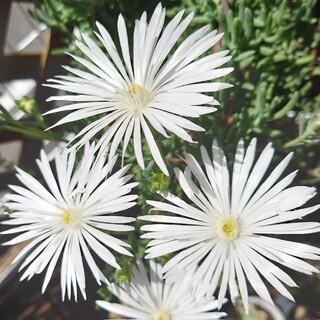 多肉植物 白花マツバギク(その他)