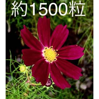 令和3年収穫のコスモス種  エンジ色 約1500粒 約7.5グラム(プランター)