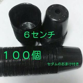 ポリポット 6㎝  100個 セダムおまけ付き(プランター)