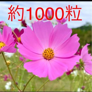 令和3年収穫のコスモス種  ピンク色 約1000粒 約5グラム(プランター)