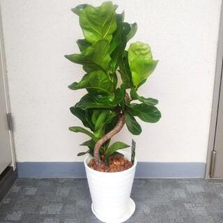 カシワゴム曲がり!観葉植物❗️高さ◎!高級セラアート鉢白受皿付❗️樹形綺麗❗️(プランター)