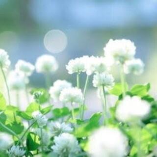 【最安値!説明書つき】ホワイトクローバー、シロツメクサの種 20g(その他)