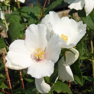 梅花ウツギ、白(プランター)