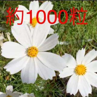 令和3年収穫のコスモス種  白色 約1000粒 約5グラム(プランター)
