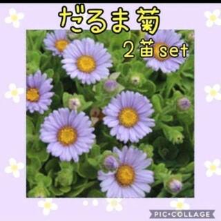 だるま菊花苗 2株set(その他)