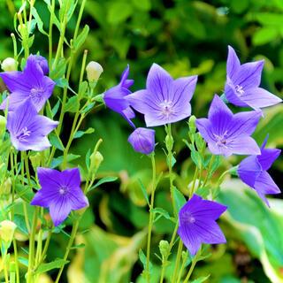 【昔から愛される日本の花!】桔梗☆キキョウ 種 カラフルミックス200粒以上!(プランター)