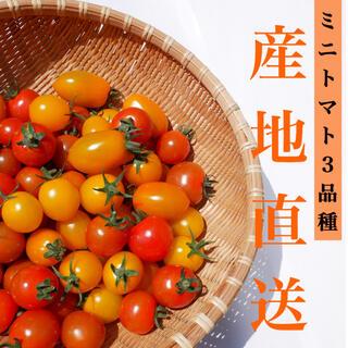ミニトマト 3kg  [農学博士のDr.トマト] 採れたて☘️産地直送いたします(野菜)