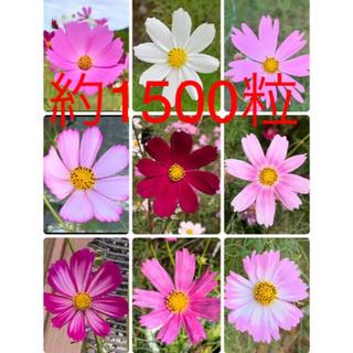 コスモス種 7種類 mix種 約1500粒 令和3年10月収穫(プランター)