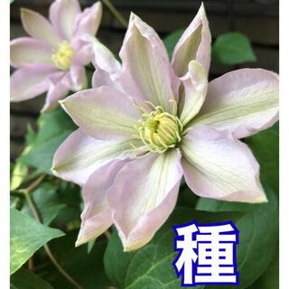 クレマチス 種子 白馬10粒(その他)