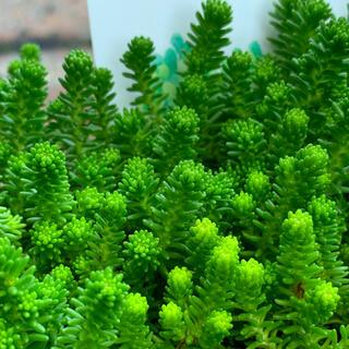 多肉植物 サクサグラレモスグリーン セダムカット苗 15+αカット(その他)