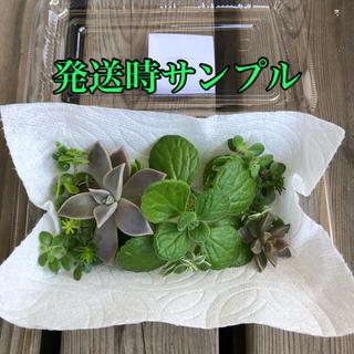 多肉植物 カット苗10種以上(プランター)