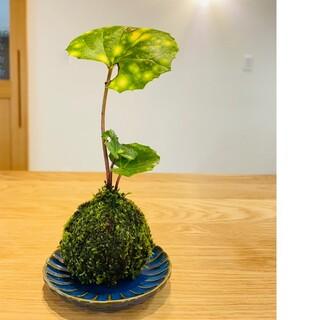 ほたるつわぶきの苔玉 盆栽(その他)