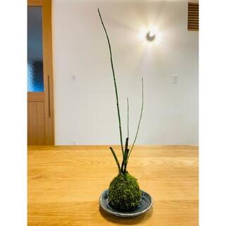 トクサの苔玉 盆栽(その他)