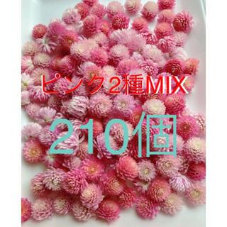 千日紅 ドライフラワー 薄ピンク 濃いめピンク MIX 210個(ドライフラワー)