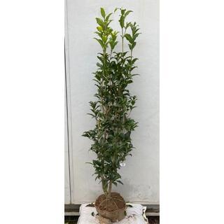 《現品》キンモクセイ 樹高1.5m(根鉢含まず)88【金木犀/苗木/植木/庭木】(その他)