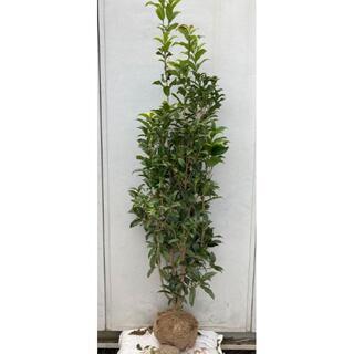 《現品》キンモクセイ 樹高1.5m(根鉢含まず)89【金木犀/苗木/植木/庭木】(その他)