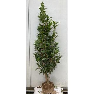 《現品》キンモクセイ 樹高1.5m(根鉢含まず)90【金木犀/苗木/植木/庭木】(その他)