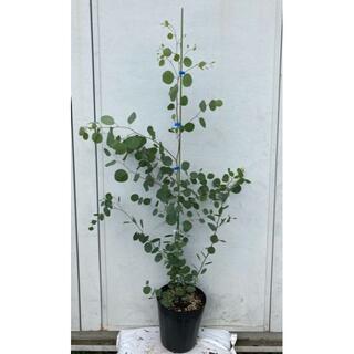 《現品》ユーカリ・ポポラス 樹高1.2m(鉢含まず)70【鉢/苗木/鉢植え】(その他)