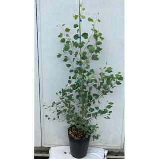 《現品》ユーカリ・ポポラス 樹高1.2m(鉢含まず)79【鉢/苗木/鉢植え】(その他)