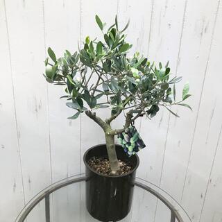 幹太めオリーブの木 SOUJU ルッカ 5号(プランター)
