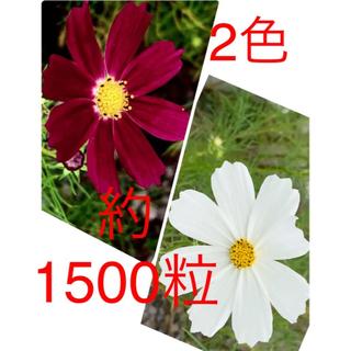 令和3年収穫のコスモス種  白とエンジ 合計約1500粒(プランター)