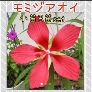 モミジアオイ   花苗  小苗  3本set(その他)